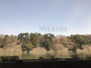 レストランの窓からの桜